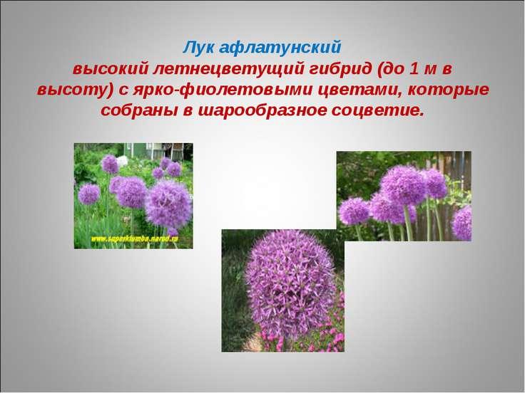 Лук афлатунский высокий летнецветущий гибрид (до 1 м в высоту) с ярко-фиолето...