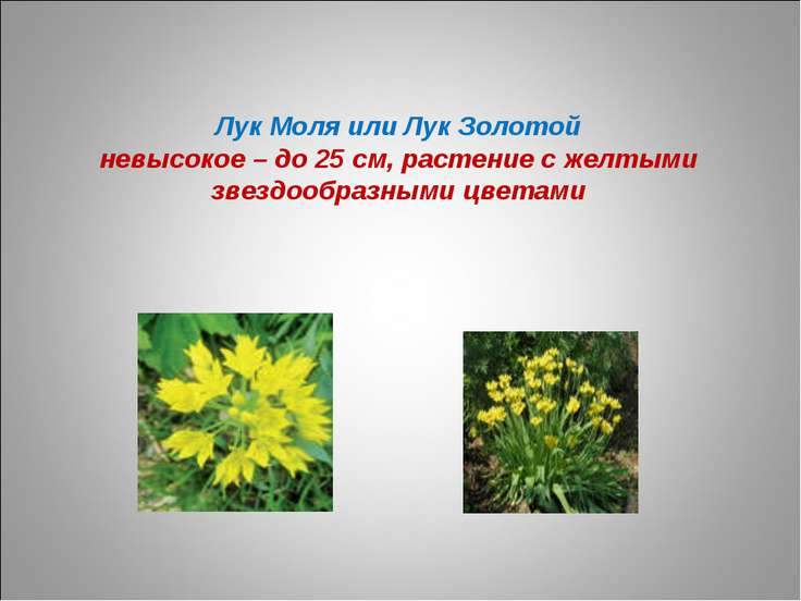 Лук Моля или Лук Золотой невысокое – до 25 см, растение с желтыми звездообраз...