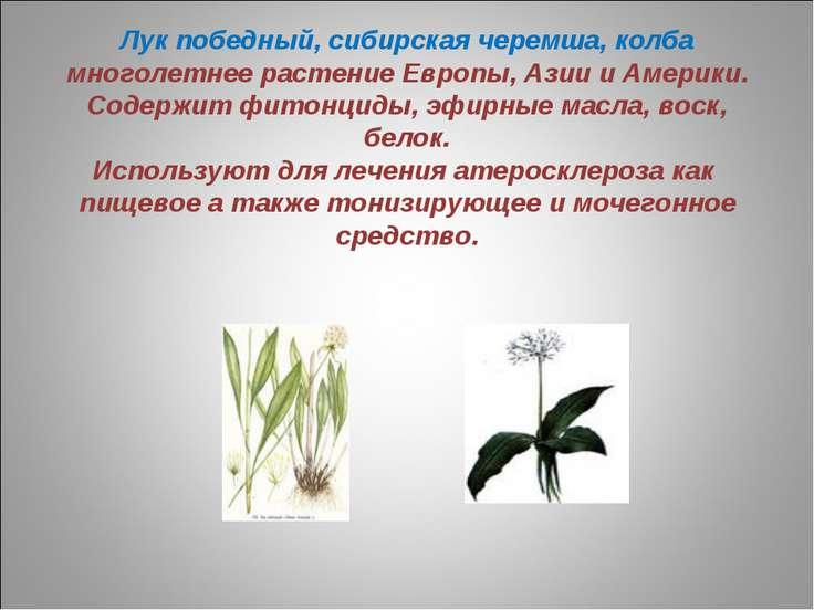 Лук победный, сибирская черемша, колба многолетнее растение Европы, Азии и Ам...