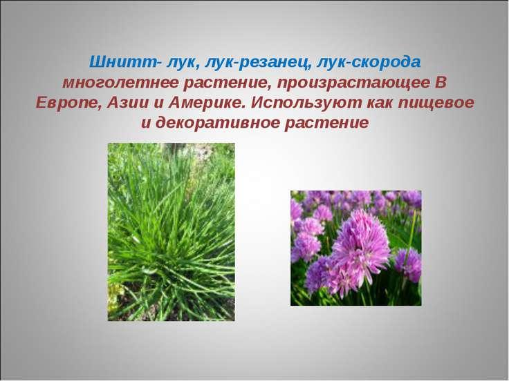 Шнитт- лук, лук-резанец, лук-скорода многолетнее растение, произрастающее В Е...
