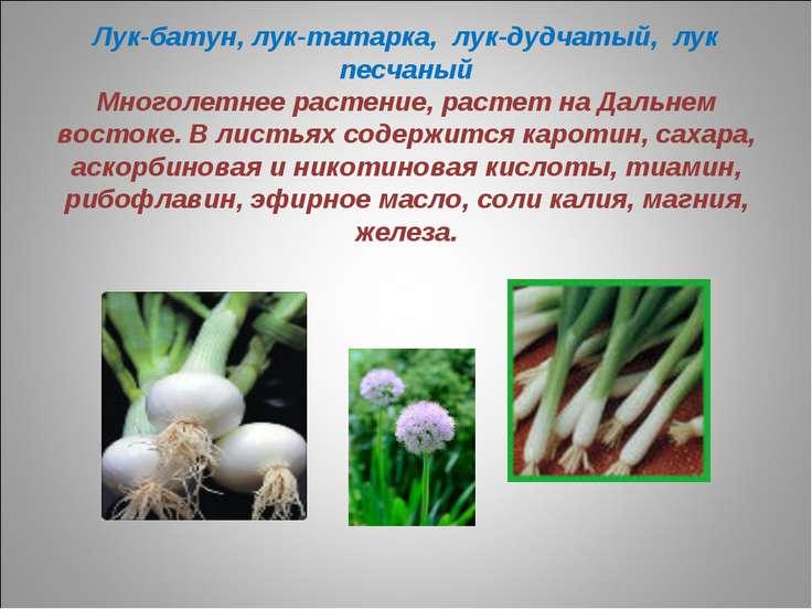 Лук-батун, лук-татарка, лук-дудчатый, лук песчаный Многолетнее растение, раст...