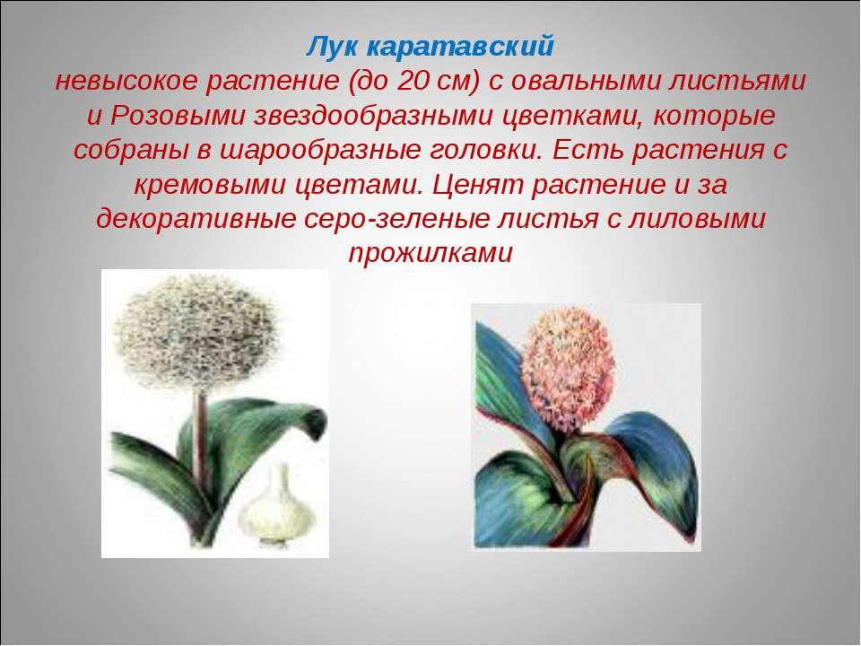 Лук каратавский невысокое растение (до 20 см) с овальными листьями и Розовыми...