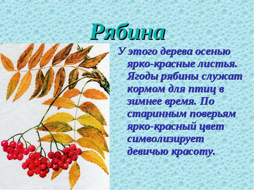 Рябина У этого дерева осенью ярко-красные листья. Ягоды рябины служат кормом ...