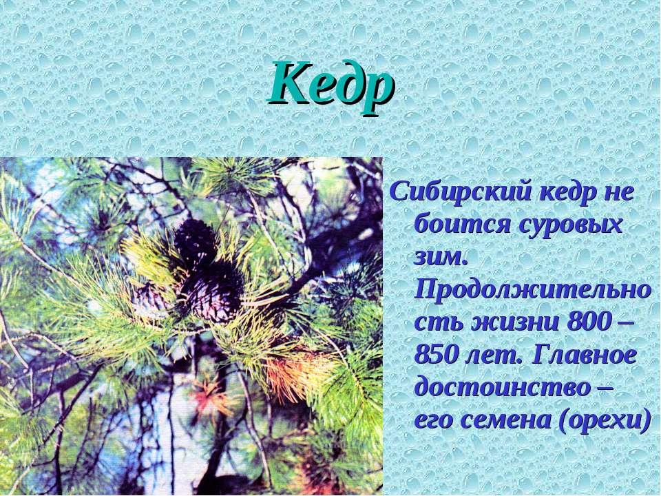 Кедр Сибирский кедр не боится суровых зим. Продолжительность жизни 800 – 850 ...