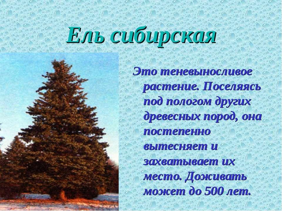Ель сибирская Это теневыносливое растение. Поселяясь под пологом других древе...
