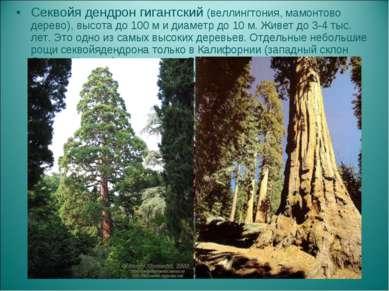 Секвойя дендрон гигантский (веллингтония, мамонтово дерево), высота до 100 м ...