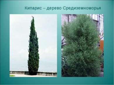 Кипарис – дерево Средиземноморья