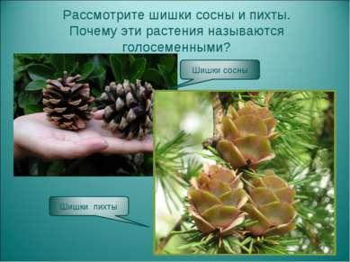 Рассмотрите шишки сосны и пихты. Почему эти растения называются голосеменными?