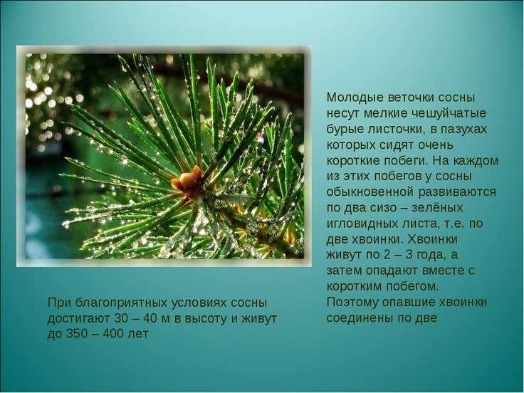 Молодые веточки сосны несут мелкие чешуйчатые бурые листочки, в пазухах котор...