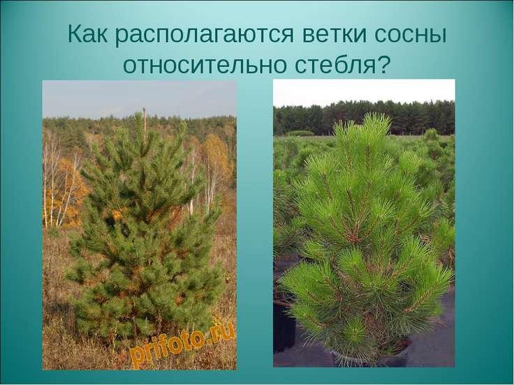 Как располагаются ветки сосны относительно стебля?