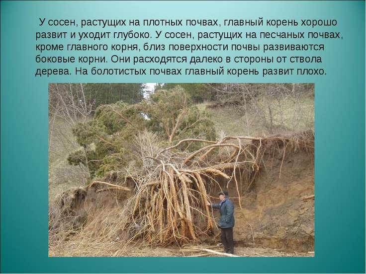 У сосен, растущих на плотных почвах, главный корень хорошо развит и уходит гл...