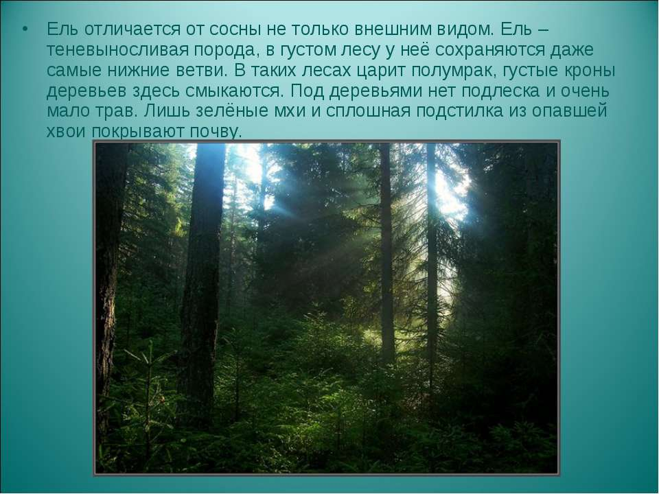 Ель отличается от сосны не только внешним видом. Ель – теневыносливая порода,...