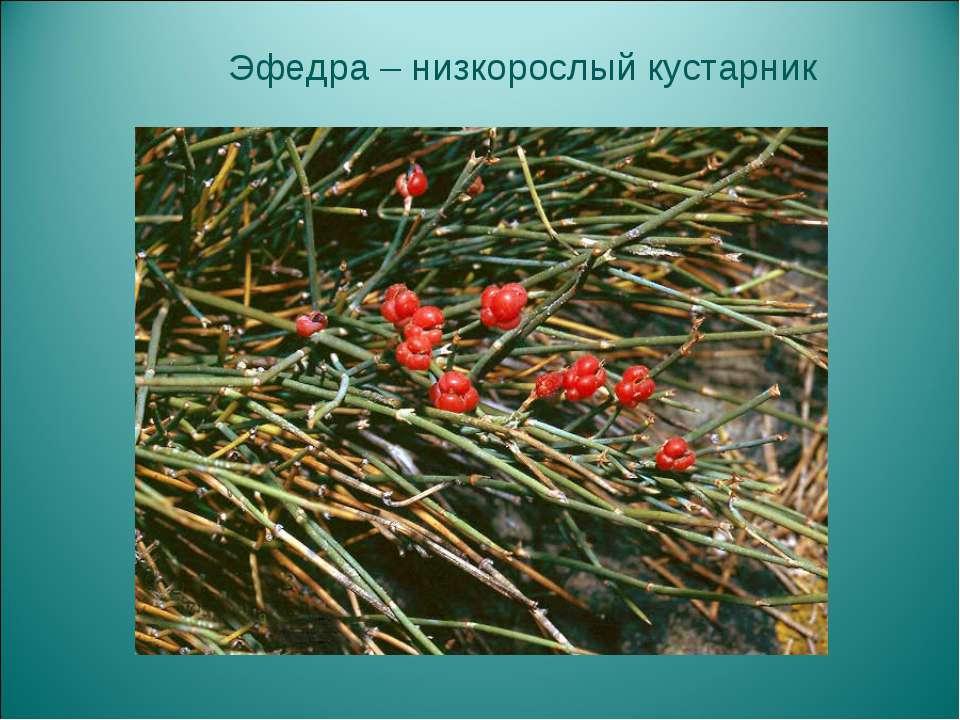 Эфедра – низкорослый кустарник