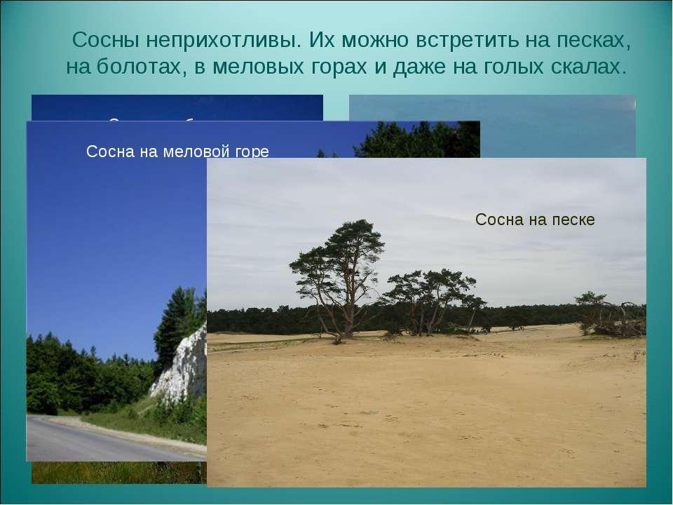 Сосны неприхотливы. Их можно встретить на песках, на болотах, в меловых горах...