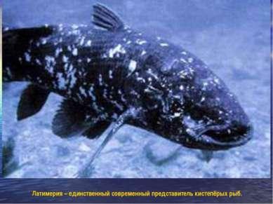 Латимерия – единственный современный представитель кистепёрых рыб.