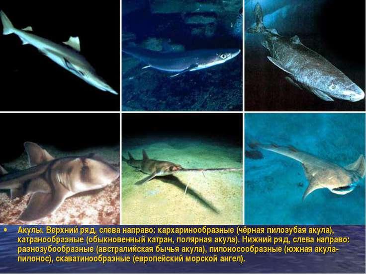Акулы. Верхний ряд, слева направо: кархаринообразные (чёрная пилозубая акула)...