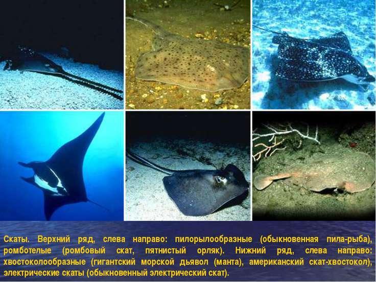 Скаты. Верхний ряд, слева направо: пилорылообразные (обыкновенная пила-рыба),...