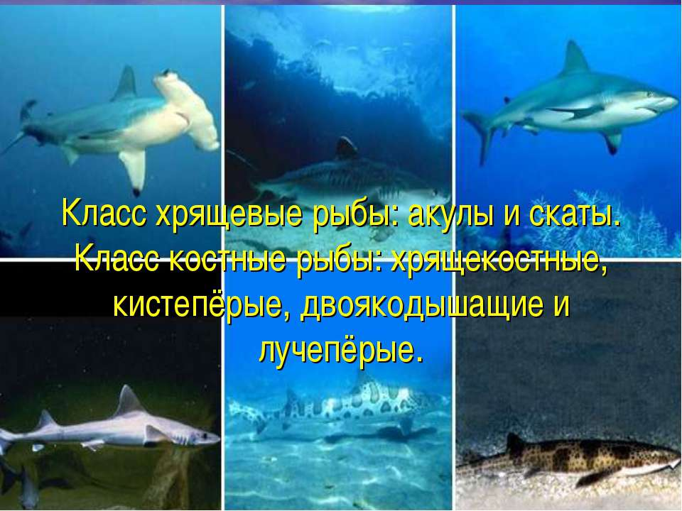 Класс хрящевые рыбы: акулы и скаты. Класс костные рыбы: хрящекостные, кистепё...