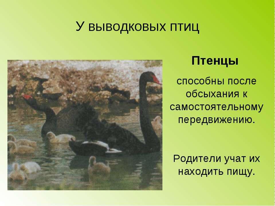 У выводковых птиц Птенцы способны после обсыхания к самостоятельному передвиж...