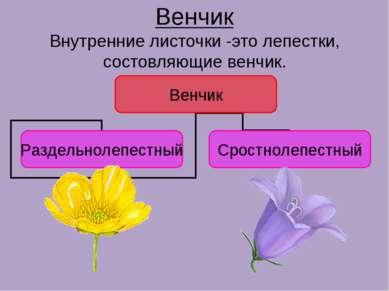 Венчик Внутренние листочки -это лепестки, состовляющие венчик.