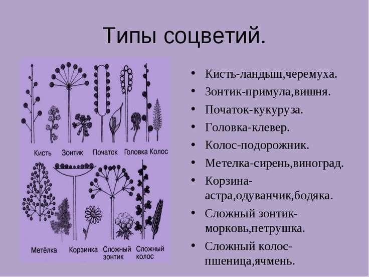 Типы соцветий. Кисть-ландыш,черемуха. Зонтик-примула,вишня. Початок-кукуруза....