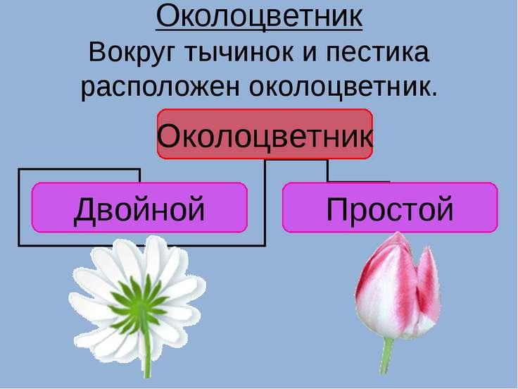 Околоцветник Вокруг тычинок и пестика расположен околоцветник.
