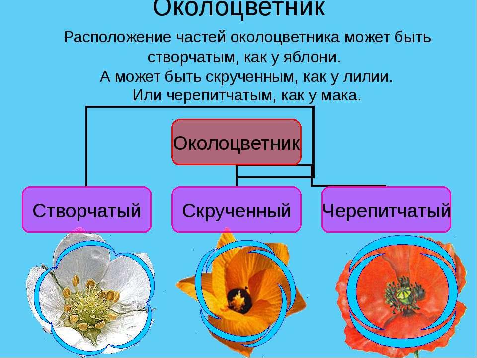 Околоцветник Расположение частей околоцветника может быть створчатым, как у я...