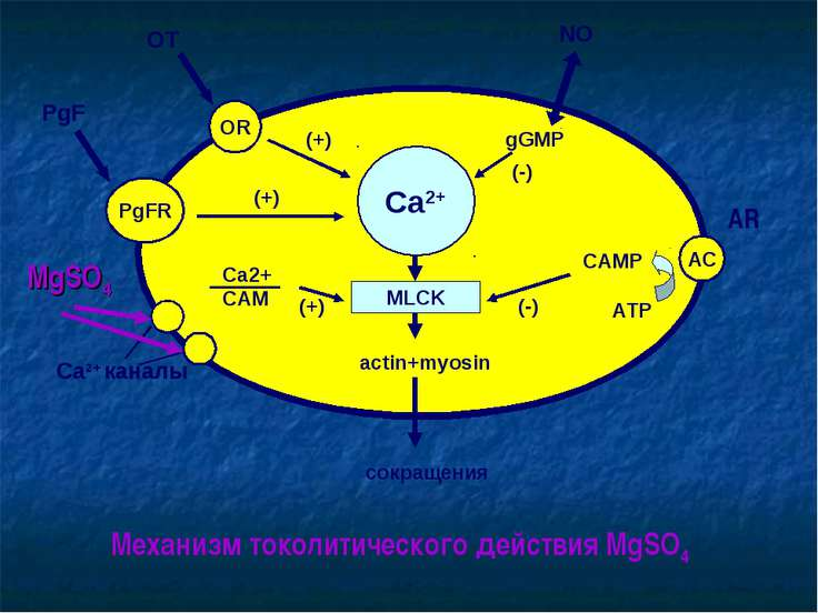 Ca2+ MLCK OR PgFR AC actin+myosin сокращения OT PgF (+) (+) Ca2+ каналы Ca2+ ...