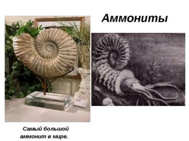 Аммониты Самый большой аммонит в мире.