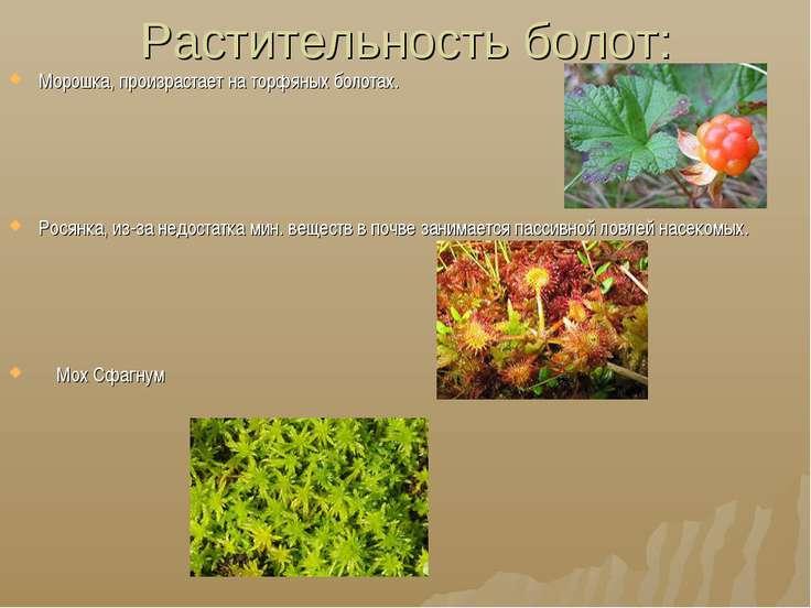 Растительность болот: Морошка, произрастает на торфяных болотах. Росянка, из-...