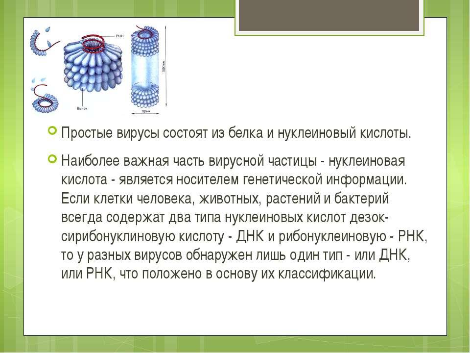 Простые вирусы состоят из белка и нуклеиновый кислоты. Наиболее важная часть ...