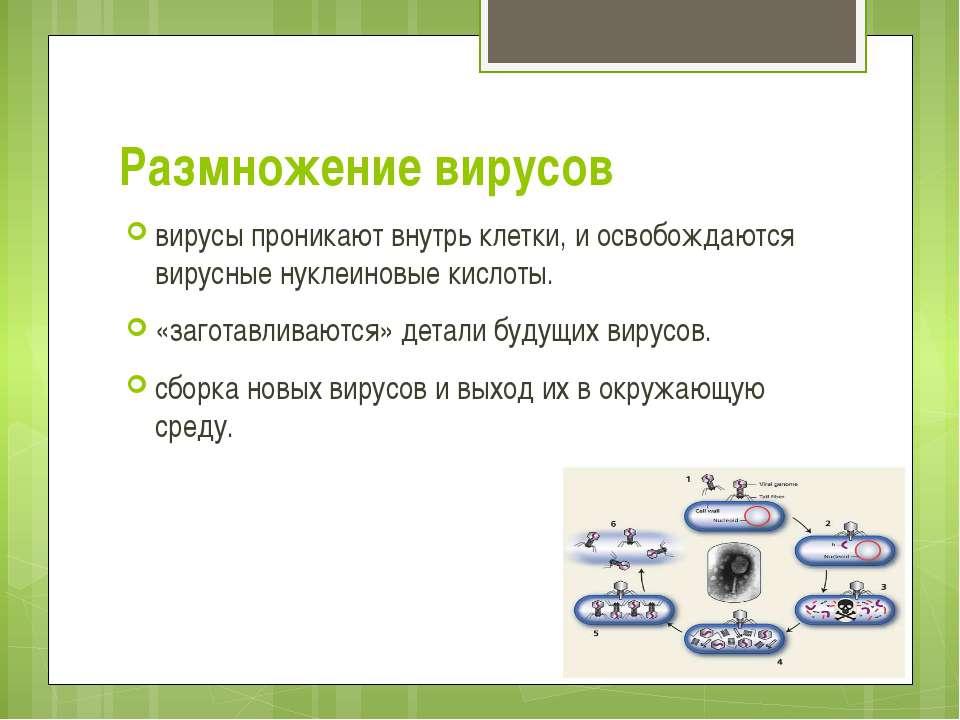 Размножение вирусов вирусы проникают внутрь клетки, и освобождаются вирусные ...