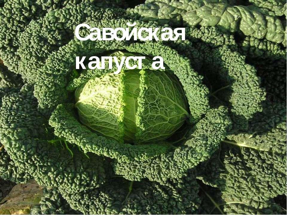 Савойская капуста Савойская капуста - двулетнее растение. Название Савойская ...