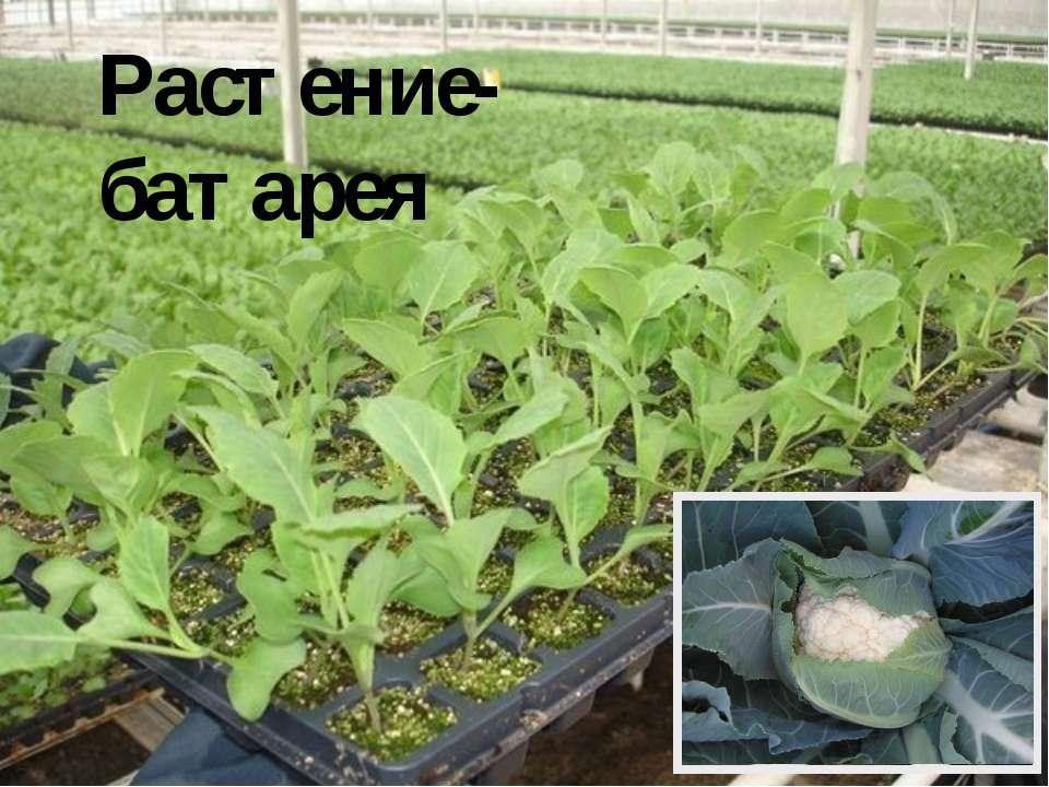 Растение-батарея В США растёт примечательное растение – скунсова капуста или ...