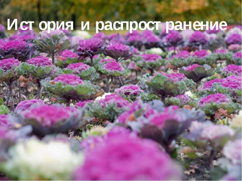 История и распространение Родина капусты – Средиземноморье, где до сих пор вс...