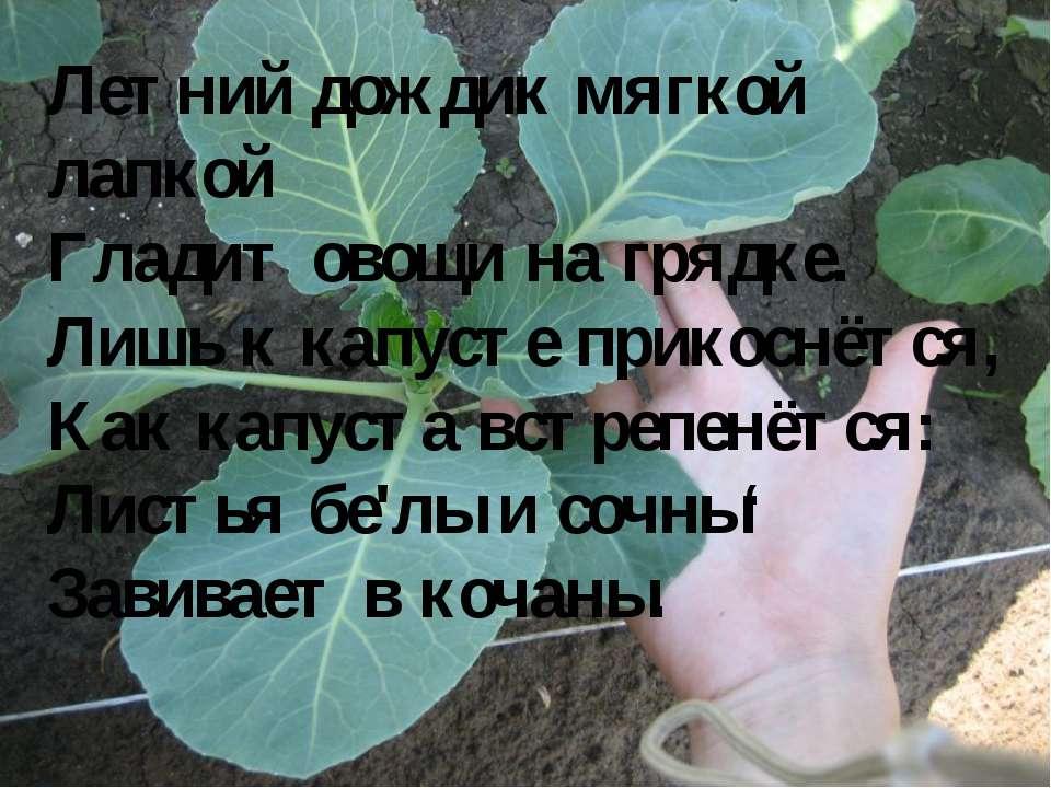 Летний дождик мягкой лапкой Гладит овощи на грядке. Лишь к капусте прикоснётс...