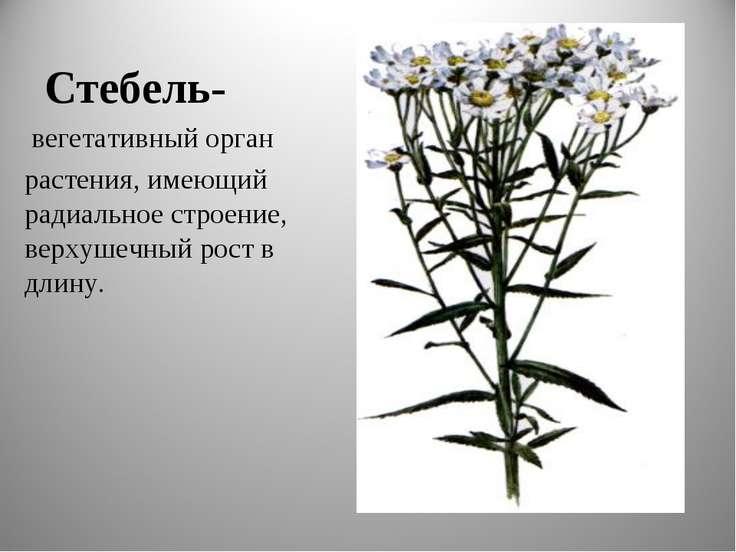 Стебель- вегетативный орган растения, имеющий радиальное строение, верхушечны...