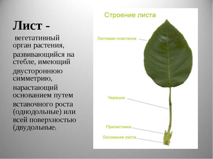 Лист - вегетативный орган растения, развивающийся на стебле, имеющий двусторо...