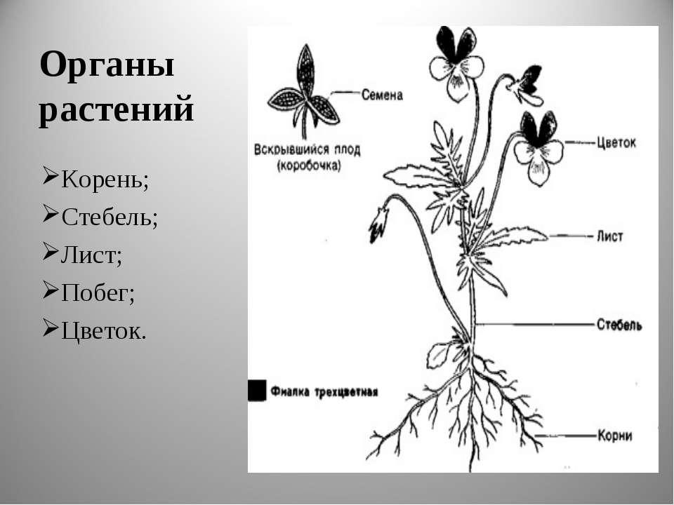 Органы растений Корень; Стебель; Лист; Побег; Цветок.