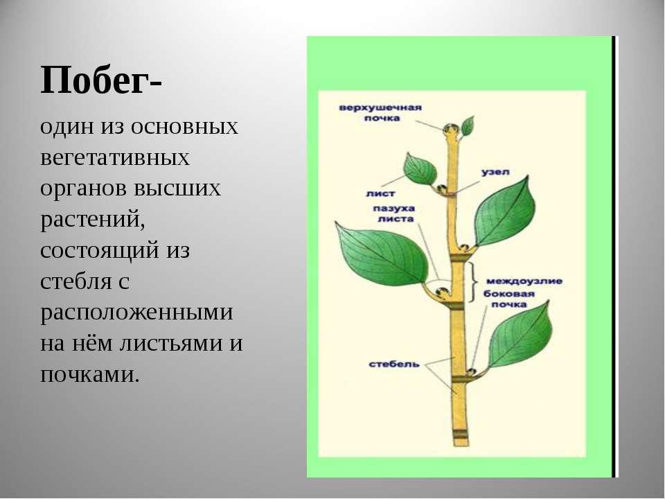 Побег- один из основных вегетативных органов высших растений, состоящий из ст...