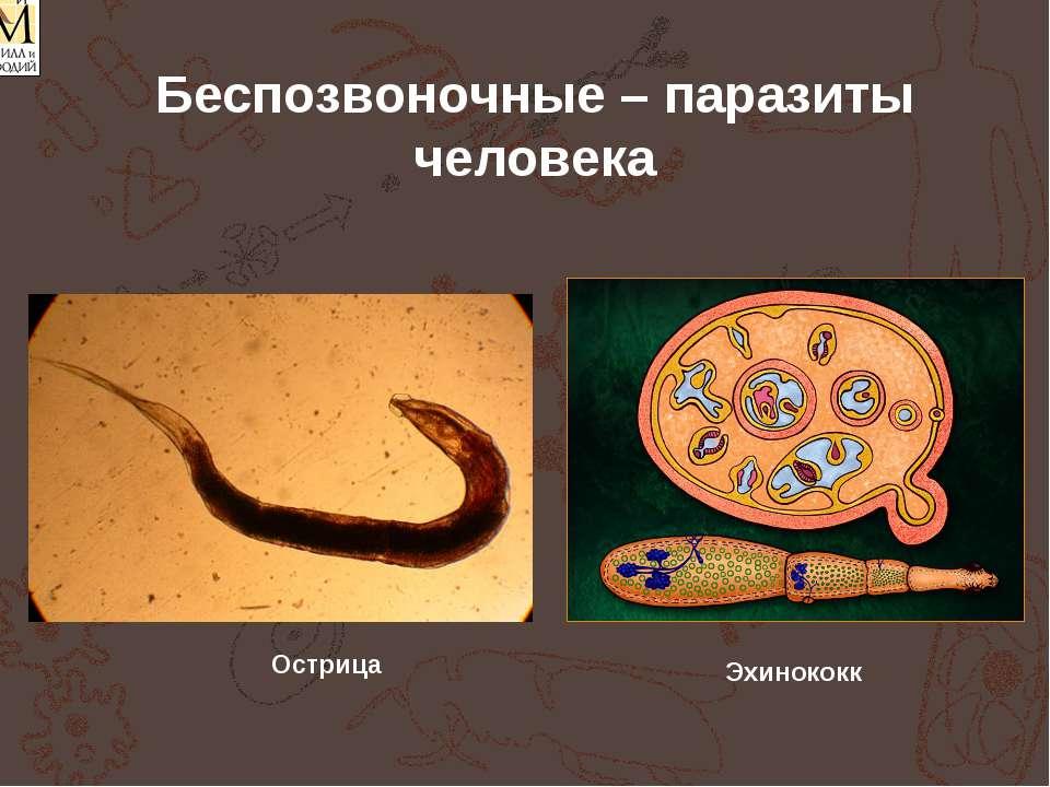 Беспозвоночные – паразиты человека Эхинококк Острица