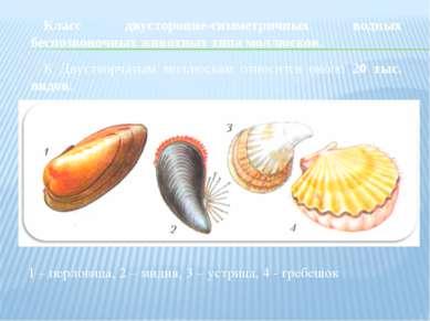 Класс двусторонне-симметричных водных беспозвоночных животных типа моллюсков....