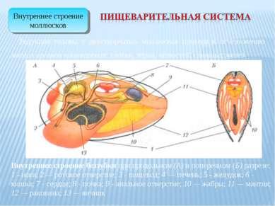 Редукция головы у двустворчатых моллюсков привела к исчезновению многих орган...