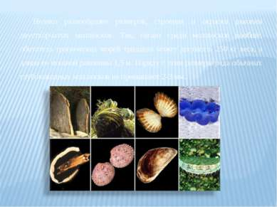 Велико разнообразие размеров, строения и окраски раковин двустворчатых моллюс...