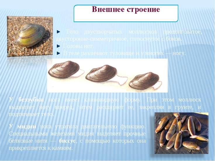 Тело двустворчатых моллюсков продолговатое, двусторонне-симметричное, сплюсну...