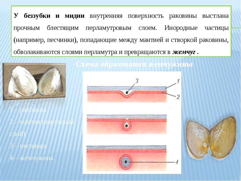 У беззубки и мидии внутренняя поверхность раковины выстлана прочным блестящим...