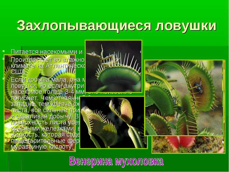 Питается насекомыми и пауками. Произрастает во влажном умеренном климате на А...