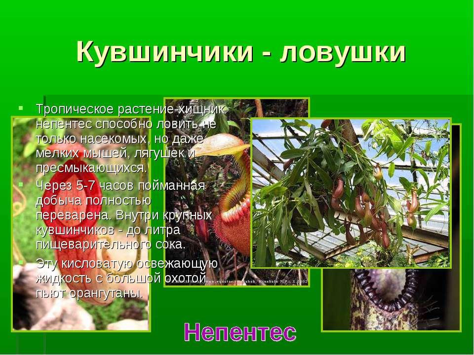 Кувшинчики - ловушки Тропическое растение-хищник непентес способно ловить не ...