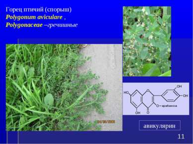 Горец птичий (спорыш) Polygonum aviculare , Polygonaceae –гречишные * авикулярин
