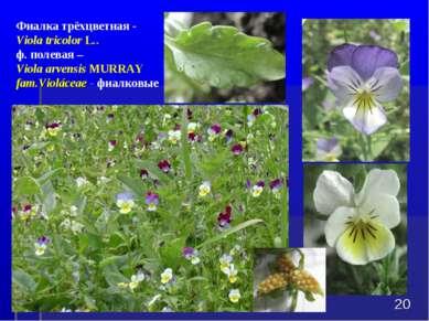 * Фиалка трёхцветная - Viola tricolorL.. ф. полевая – Viola arvensisMURRAY ...